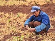 云南遭50年一遇旱灾385万人饮水困难(组图)