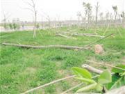 翔安隧道绿化树七八十棵惨遭毒手 损失至少10多万