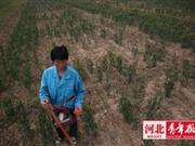 河北栾城千余亩小麦面临绝收 村民称遭遇假种子