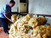 西安硫磺熏制生姜成行业潜规则 占60市场