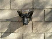 牧羊犬被墙洞卡住头部无法动弹