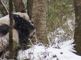 组图:陕西首次拍到野生熊猫