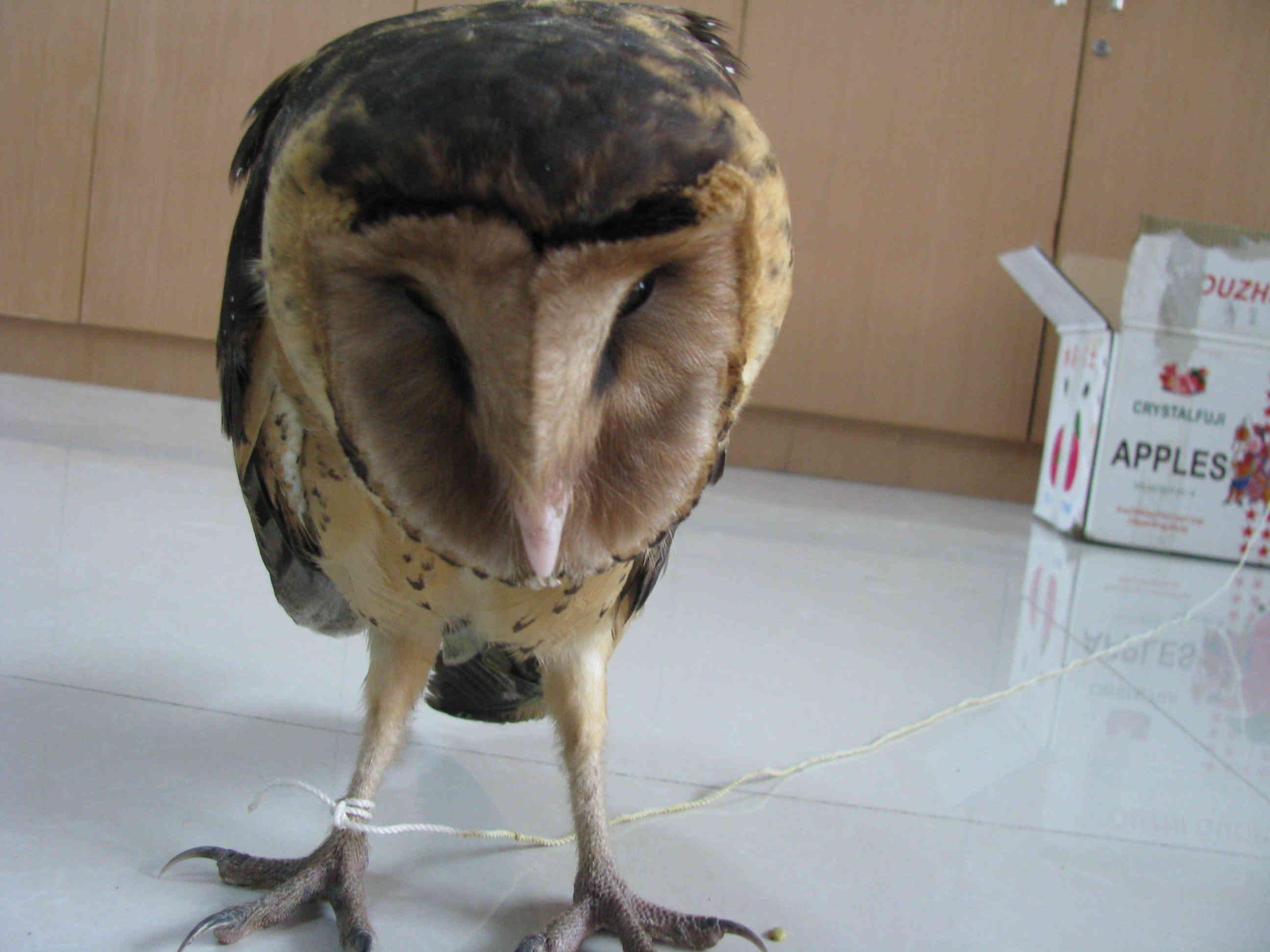 二级野生保护动物猴面鹰