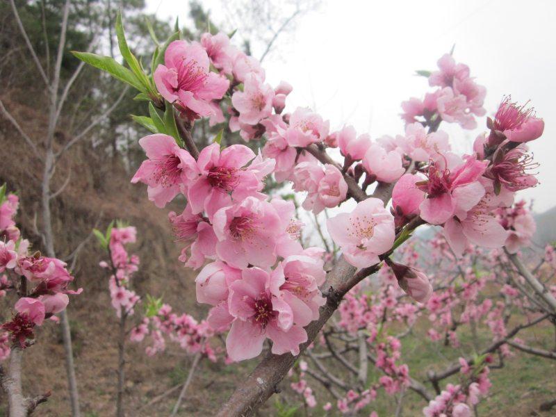校园里的桃树开花了