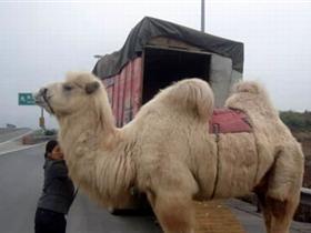 """司机在高速公路上遛骆驼 称给其""""透透风"""""""