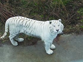 白虎爸黄虎妈生下五胞胎黄小虎 动物园有疑(图)