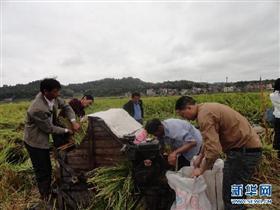"""袁隆平""""百亩片""""试验田亩产首次突破900公斤"""