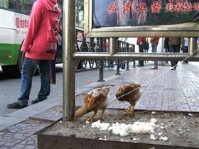 小鸡拴在站牌下 工作养鸡两不误