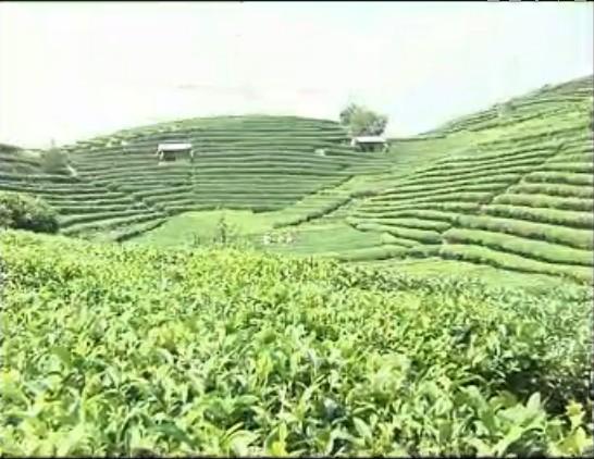 三江茶厂茶园节水灌溉-柳州成为广西第二大产茶区 产值暴增4亿
