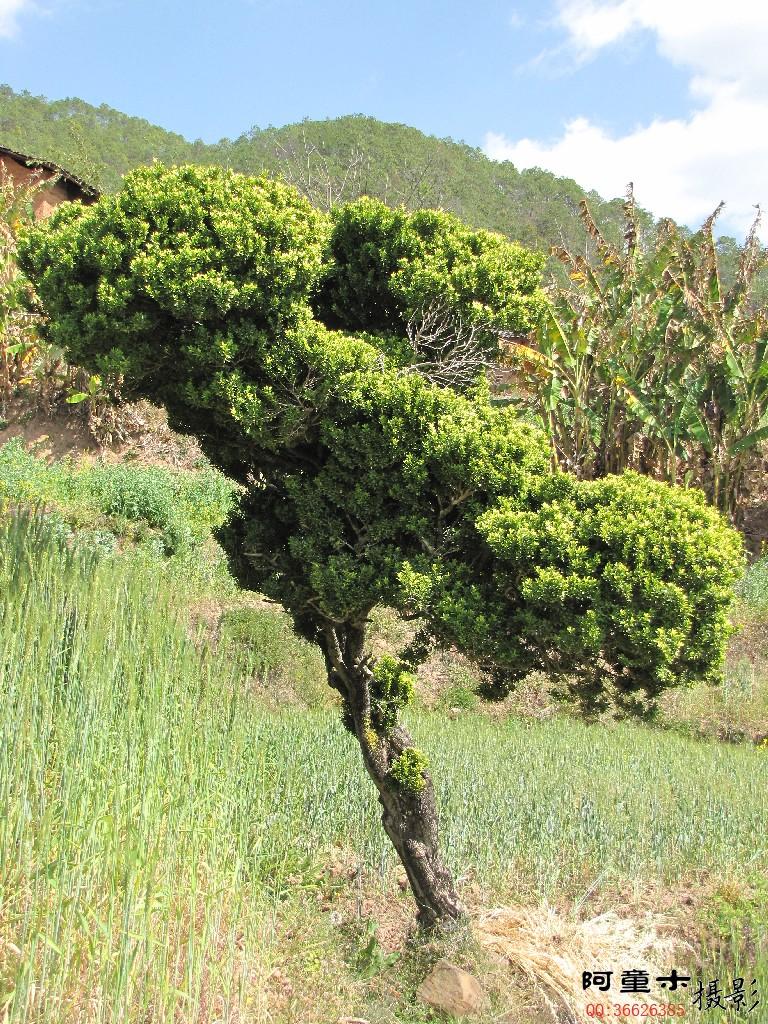 景观树欣赏 雀舌黄杨 万年青 生活随拍