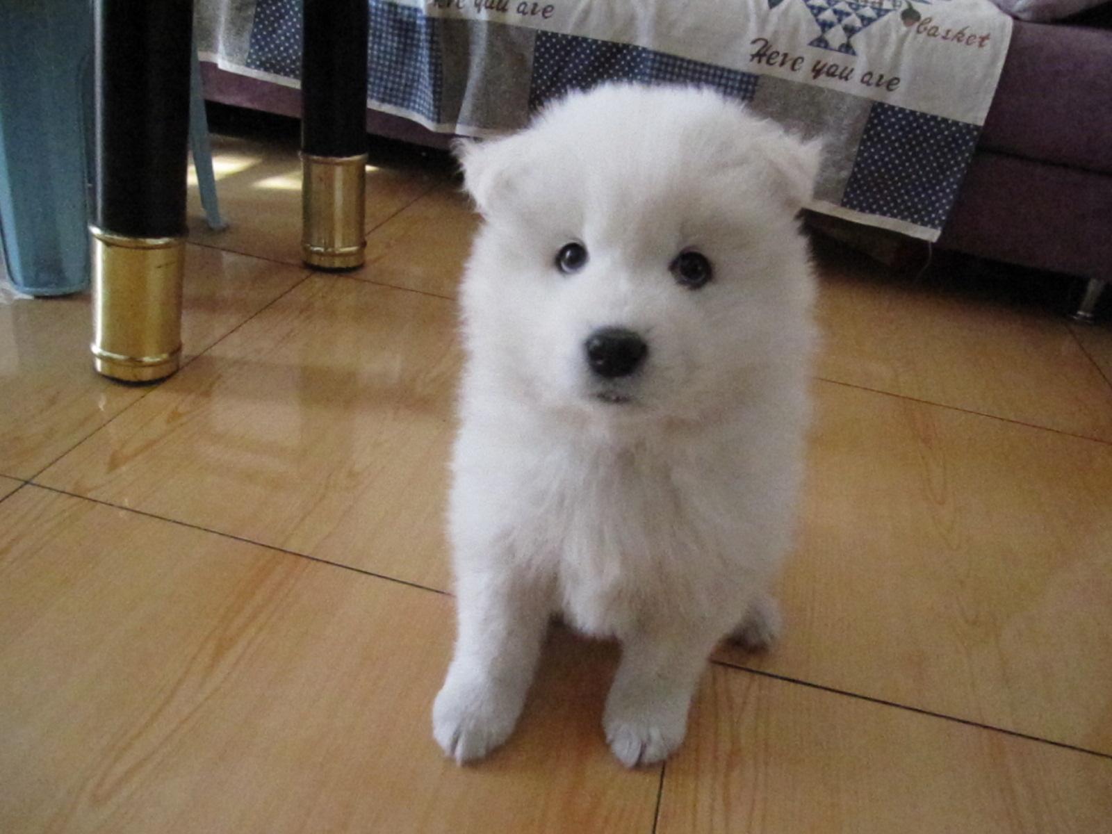 出售萨摩耶幼犬!自己家母狗产!