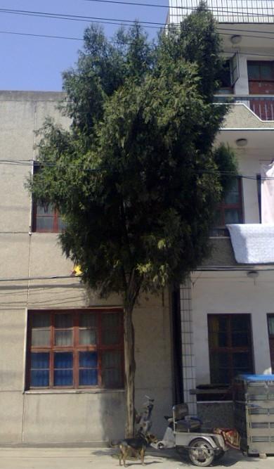 树在汉川城关
