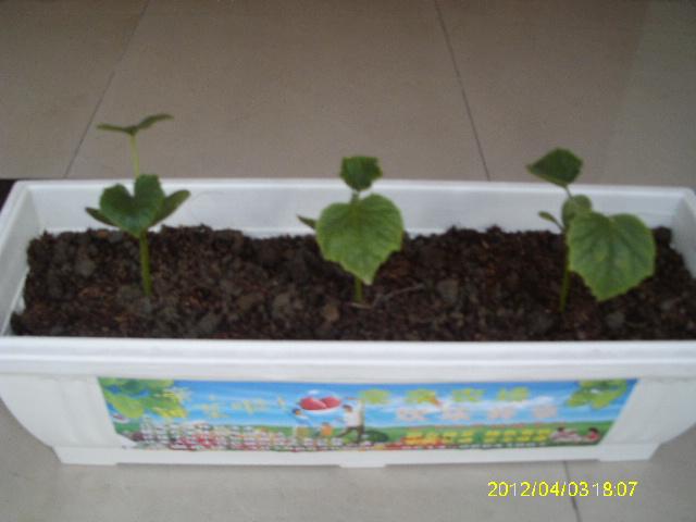 盆栽草莓,盆栽观赏蔬菜,阳台种菜套餐项目加盟