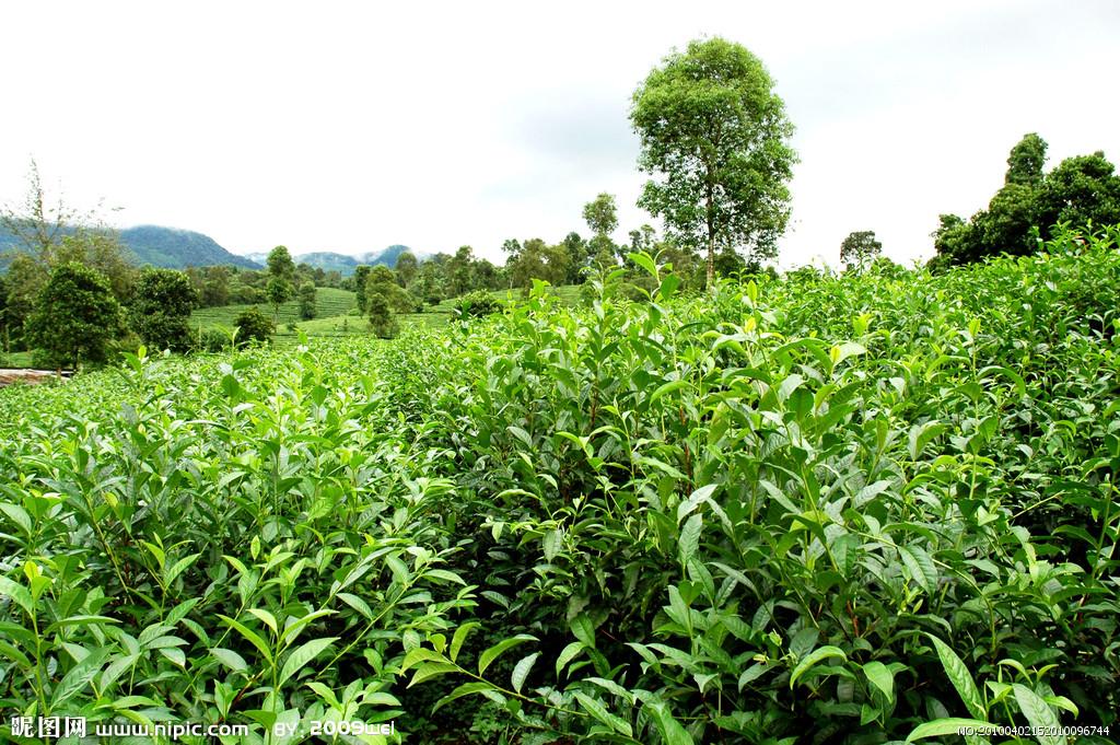 茶叶树标志设计