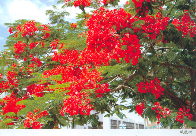 1989年3月,开远市人大常委会仪审议决定:以小叶榕、凤凰树为市树,合称兄弟树;以叶子花、米兰为市花,合称姐妹花。 而今,小叶榕已在开远接到绿树掩映,凤凰树经历了凤凰涅槃后,重新在市区绽放,叶子花、米兰在市区街到、庭院的万绿丛中串串红、十里之内处处香。