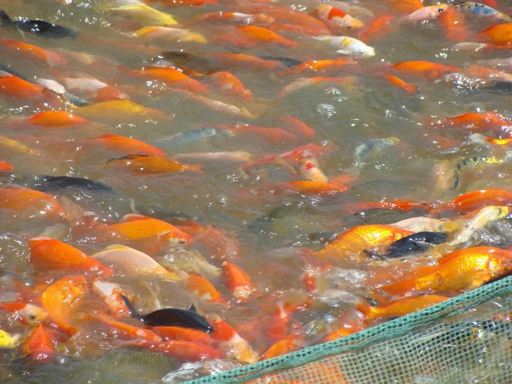 滇锦观赏鱼养殖场