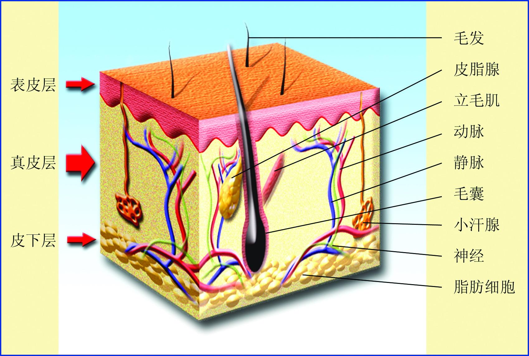 皮肤解剖结构模式图.