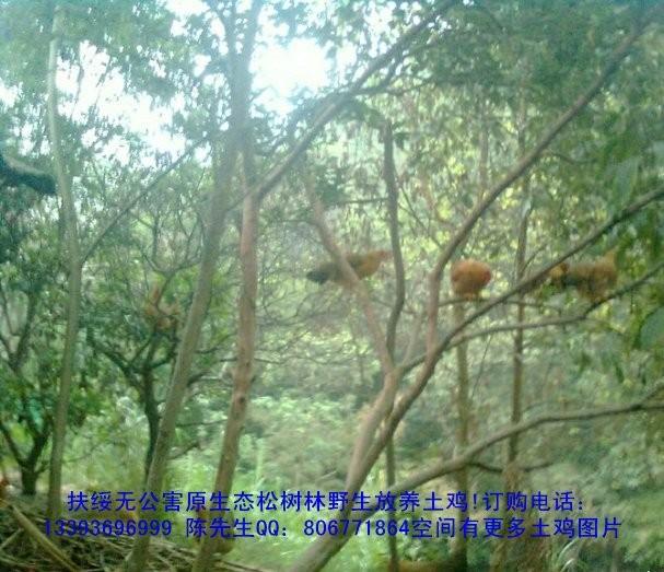 在茂密的原生态松树林中野生放养土鸡
